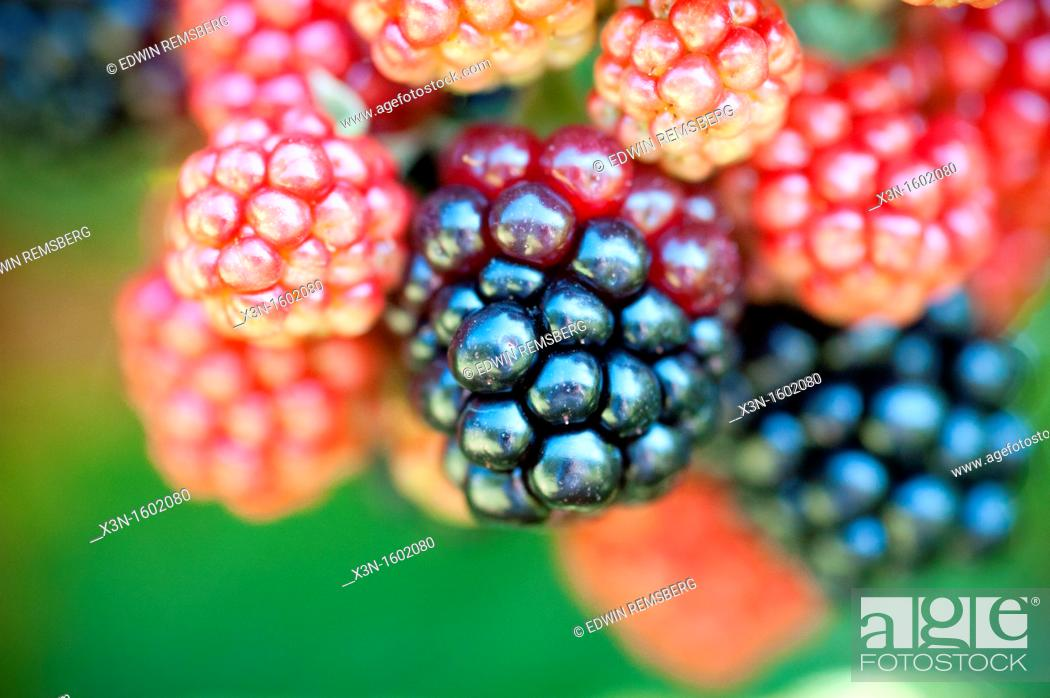 Stock Photo: Colorful berries in different stages of ripeness.