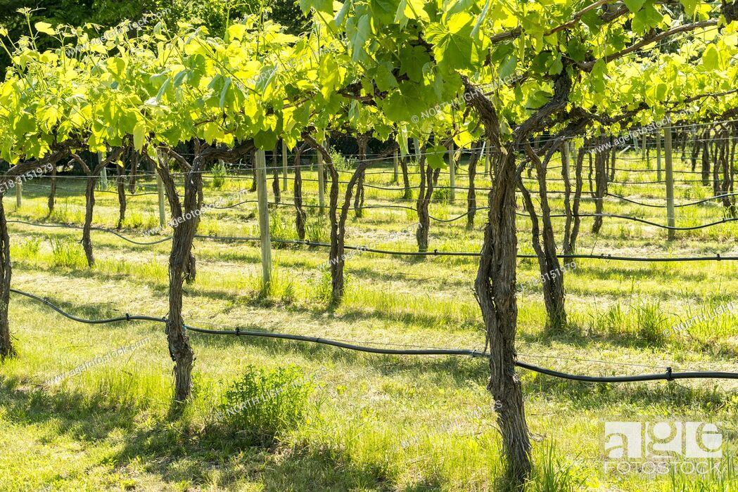 Stock Photo: Canada, BC, Keremeos. Young grape vines at Robin Ridge winery. Keremeos is in the southern Okanagan Valley, British Columbia's premier wine making region.