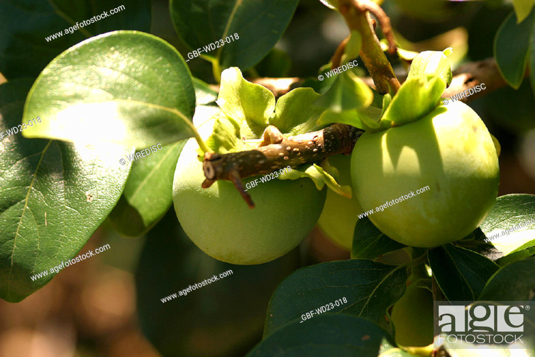 Stock Photo: Plantations, persimmon, agriculture, Brazil.