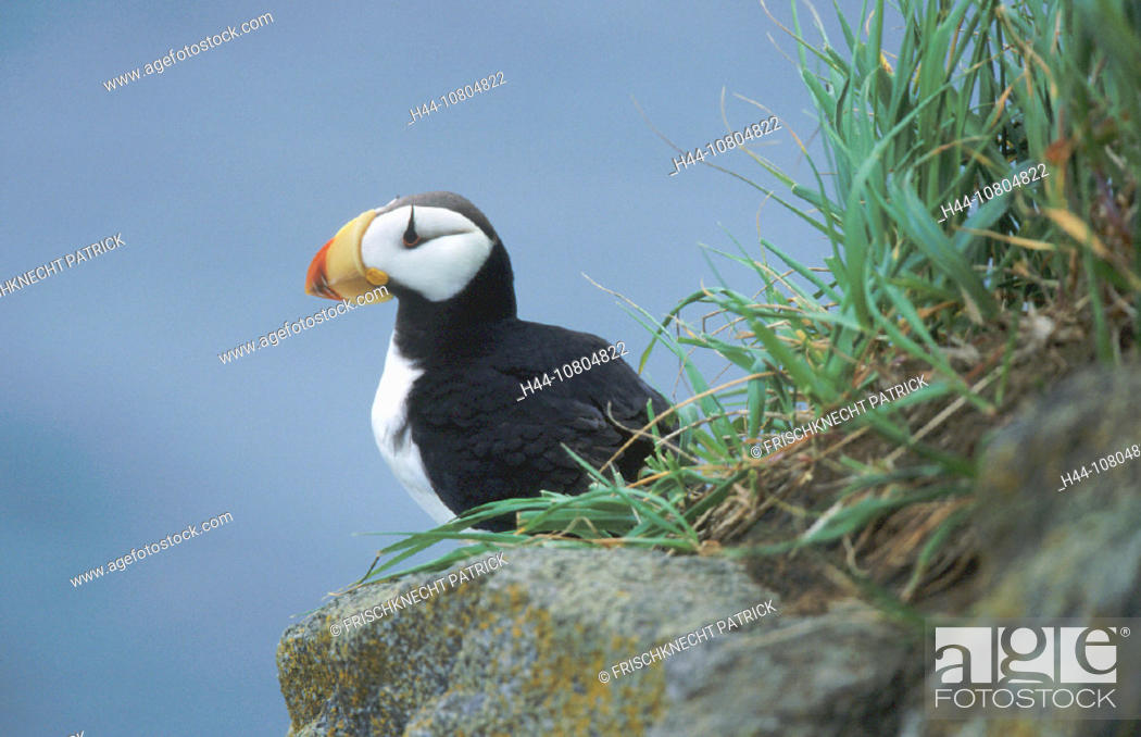 Stock Photo: Alaska, animal, animals, bird, birds, coast, Fratercula corniculata, Horned Puffin, Hornlund, on stone, one, portrai.