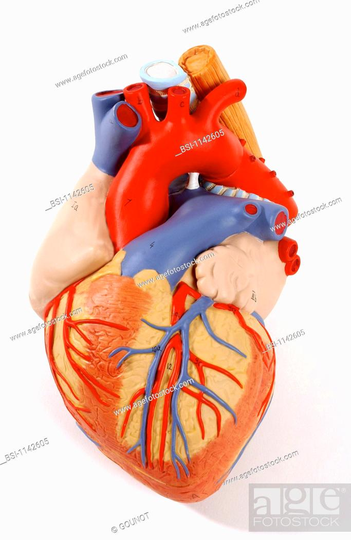 Model of the superficial anatomy of the heart of an adult human body ...