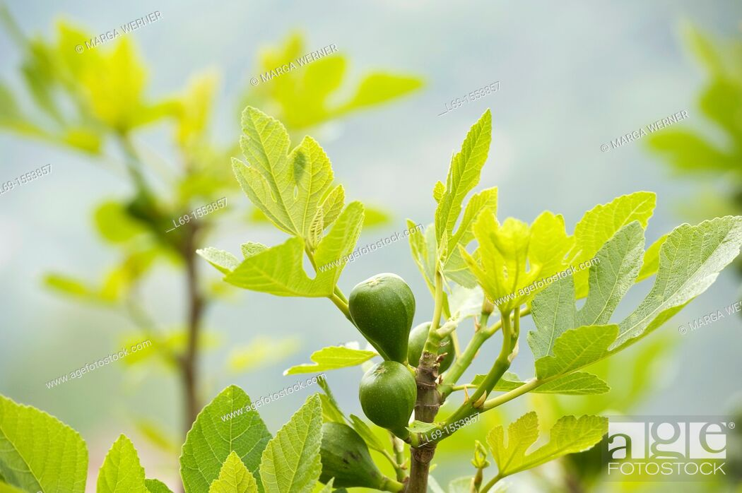 Stock Photo: Branch of a fig tree with fruit, Las Alpujarras, Andalusia, Spain, Europe.