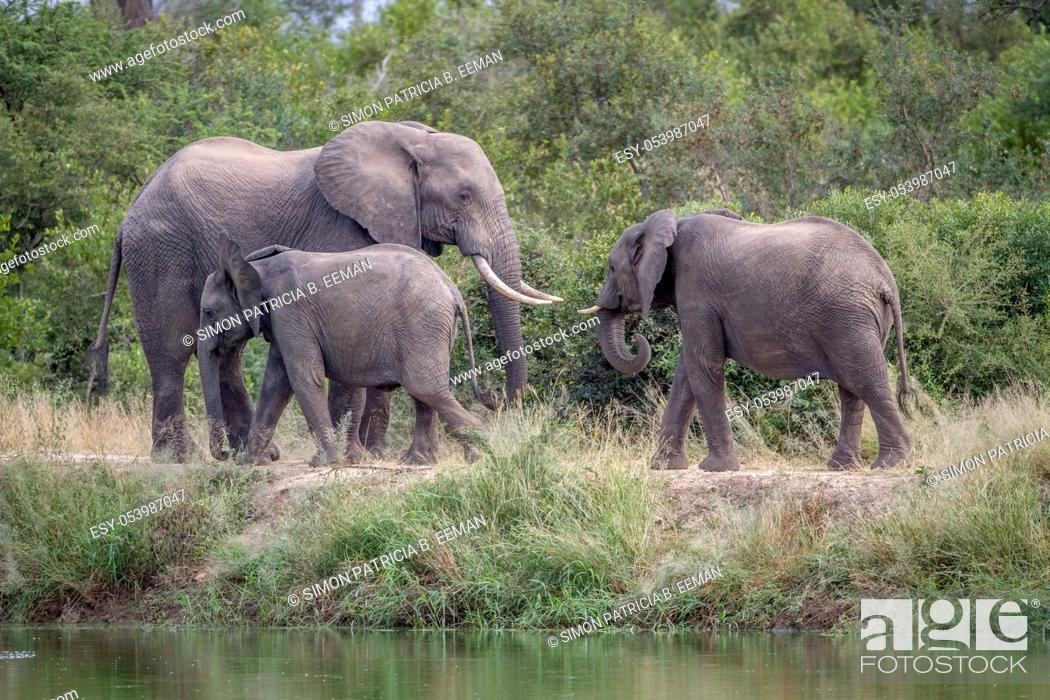 Stock Photo: Herd of Elephants walking next to the water in the Kruger National Park, South Africa.