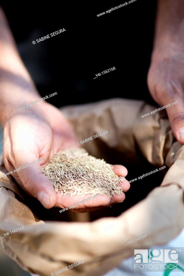 Stock Photo: Man holding grass seeds in his hand  France.