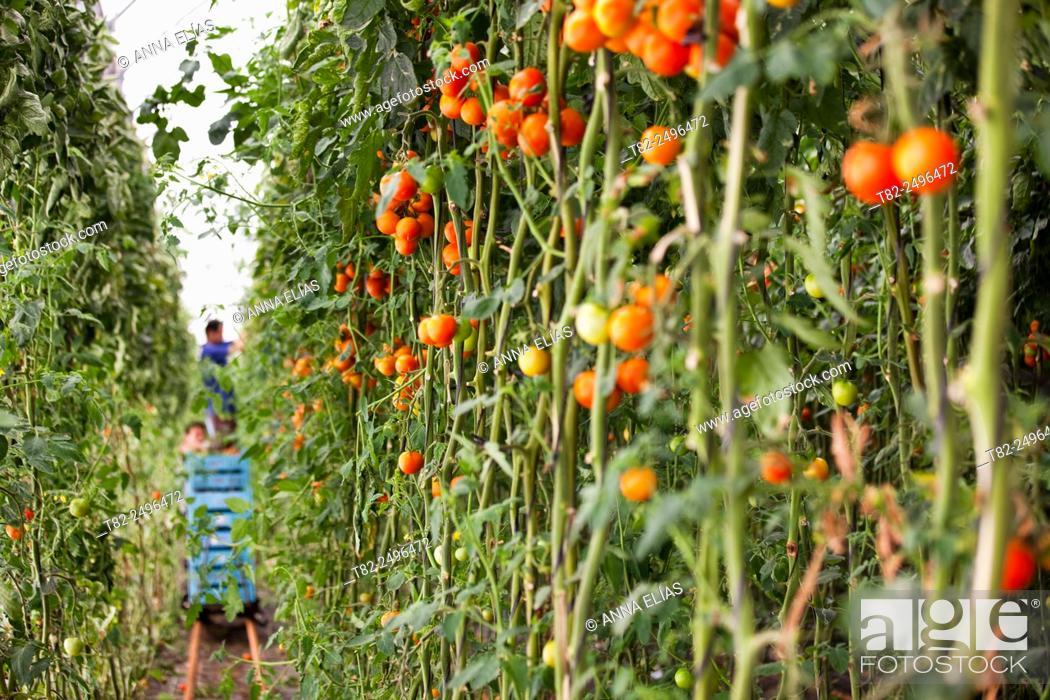 Imagen: Harvesting organic tomatoes in greenhouse, El Ejido, Almeria, Andalucia, Spain, Europe.
