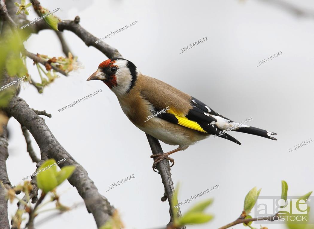 Imagen: Goldfinch (Carduelis carduelis). Botkyrka, Stockholm.