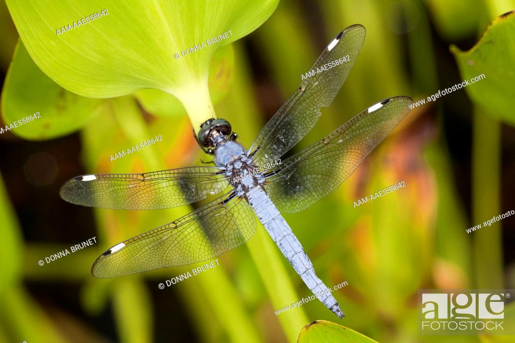 Imagen: Male Spangled Skimmer (Libellula cyanea) clings to a pickerelweed leaf (Pontederia cordata) growing in the shallow water at the edge of a pond.