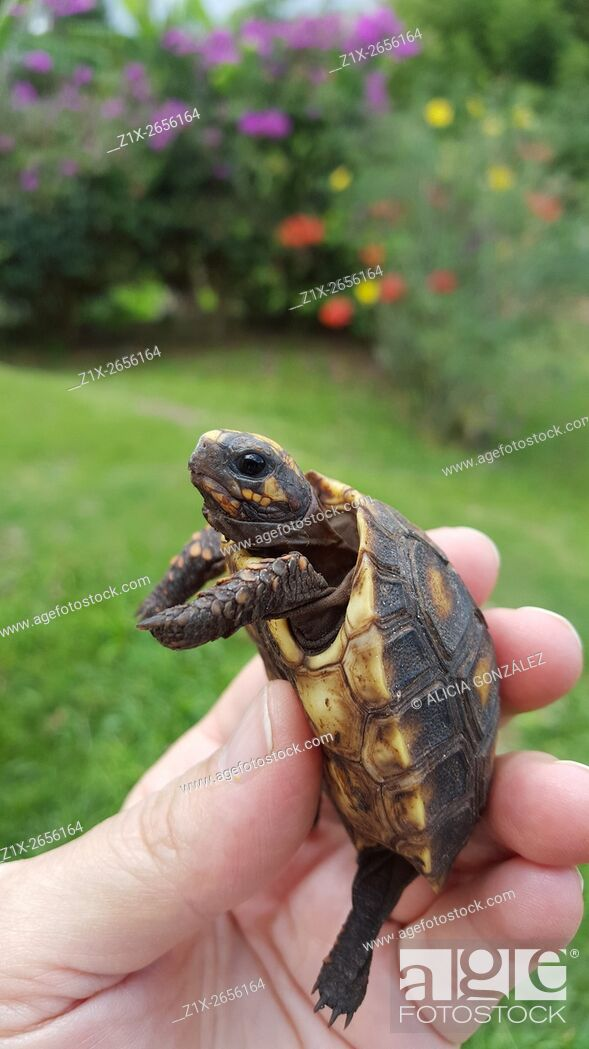Stock Photo: Tortoise baby (Chelonoidis carbonaria) is a species of tortoises from northern South America.