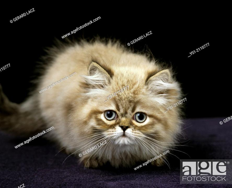 Stock Photo: Colourpoint Persian Domestic Cat, Kitten standing against Black Background.