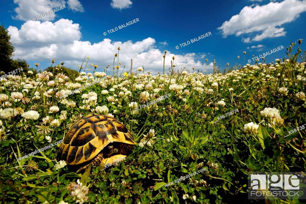 Stock Photo: Spur-thighed Tortoise (Testudo graeca), Es Grau. Minorca, Balearic Islands, Spain.