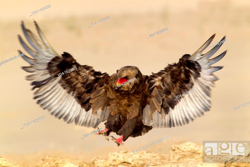 Stock Photo: Bateleur Terathopius ecaudatus, in the waterhole, Mabuasehube, Kgalagadi Transfrontier Park, Kalahari desert, Botswana.