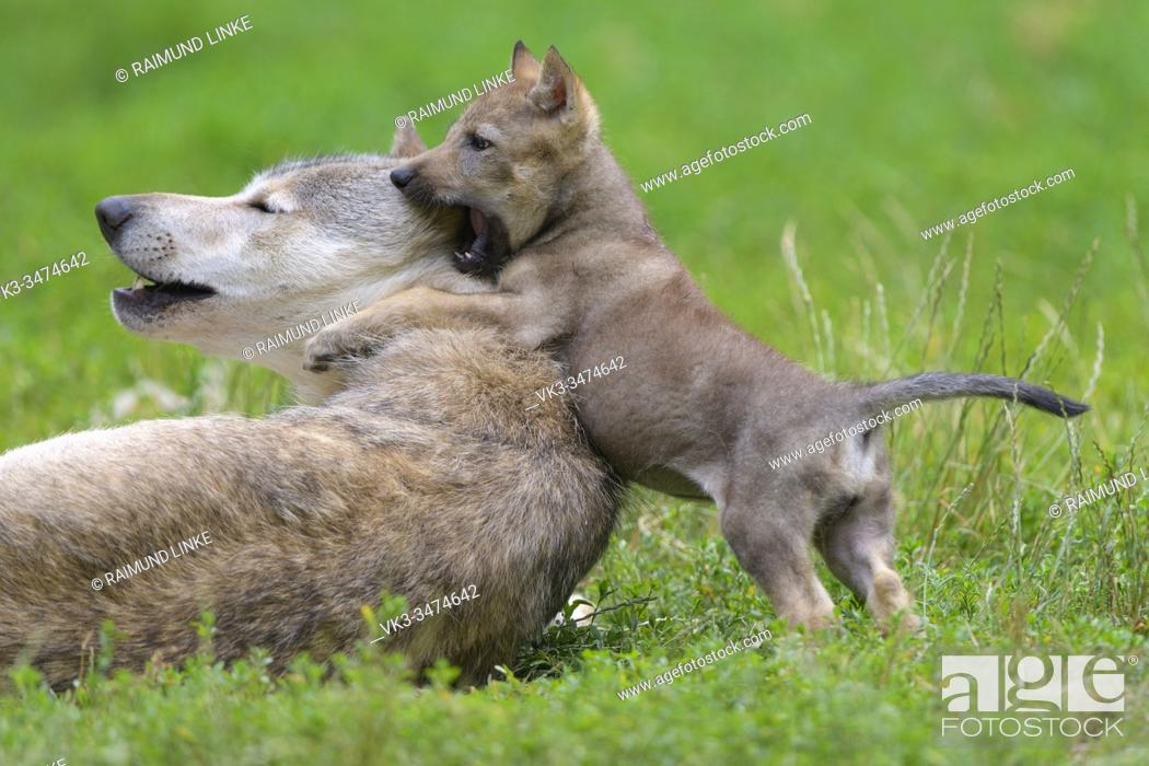 Stock Photo: Wolf, Canis lupus, adult with cub.