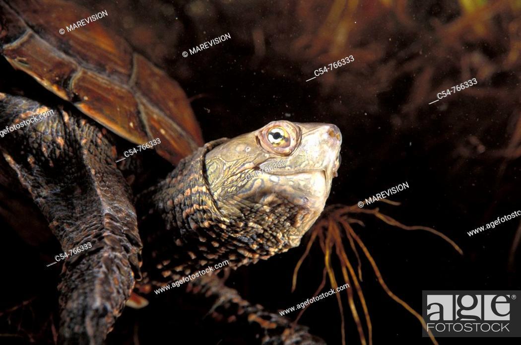 Stock Photo: Freshwater Rivers Galicia Spain Mediterranean pond turtle Mauremys leprosa.