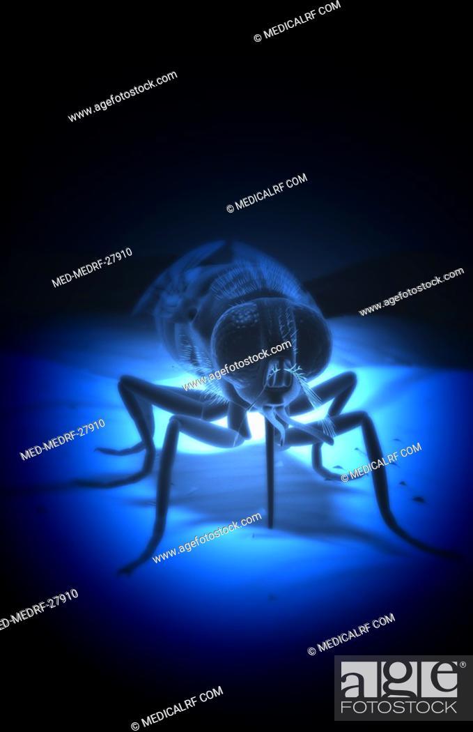 Stock Photo: Tsetse fly.