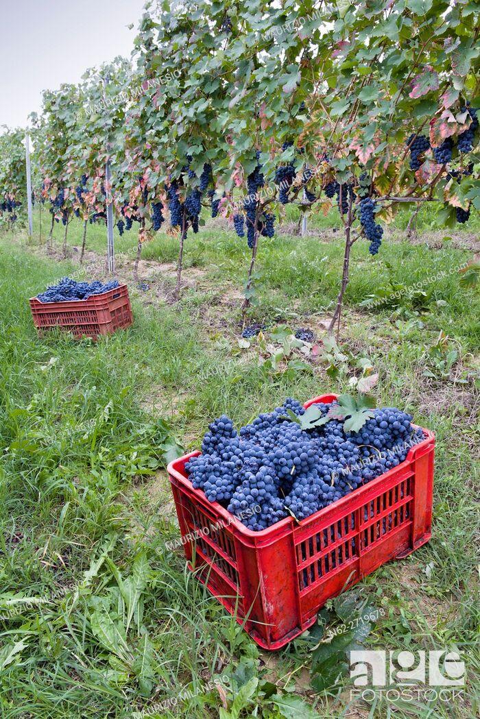 Stock Photo: Red crates in the vineyard, filled with grapes during the harvest Piedmont Iytalia.