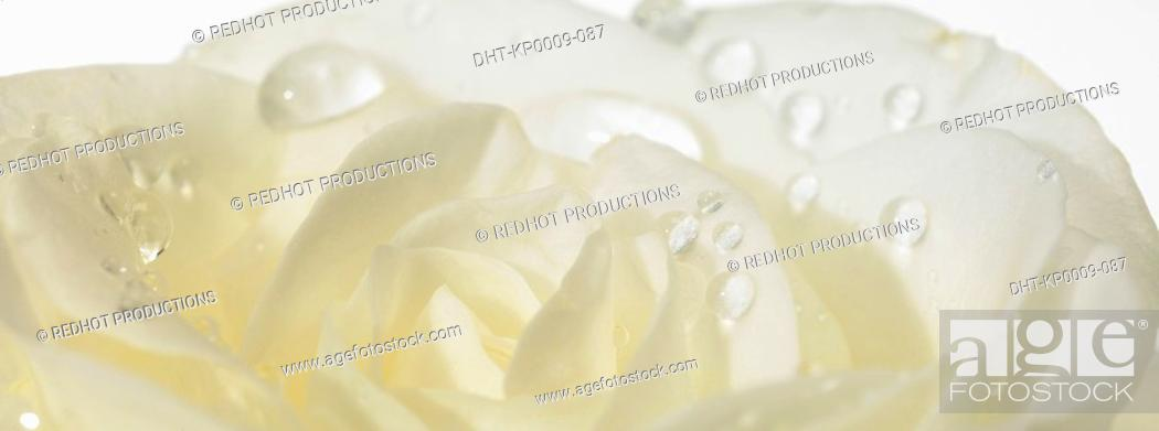 Stock Photo: One white Rose with dew.