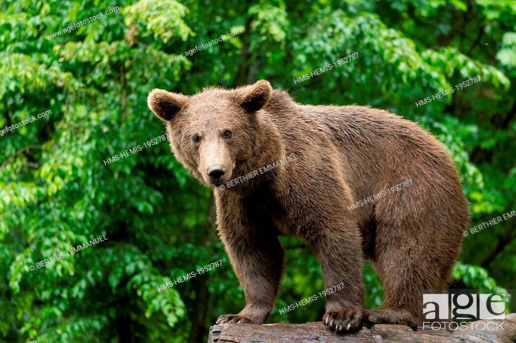 Stock Photo: France, Hautes-Pyrenees, Argeles-Gazost, brown bear (Ursus arctos) in Pyrenees animal Park.