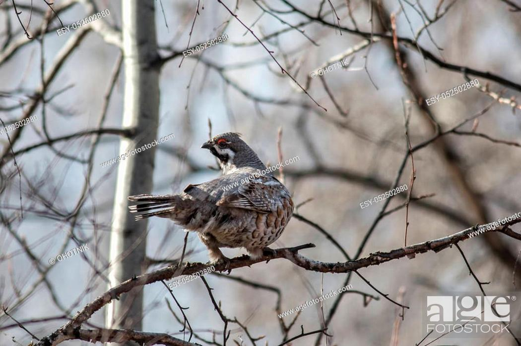 Stock Photo: Male Hazel Grouse sitting on a tree among branches.