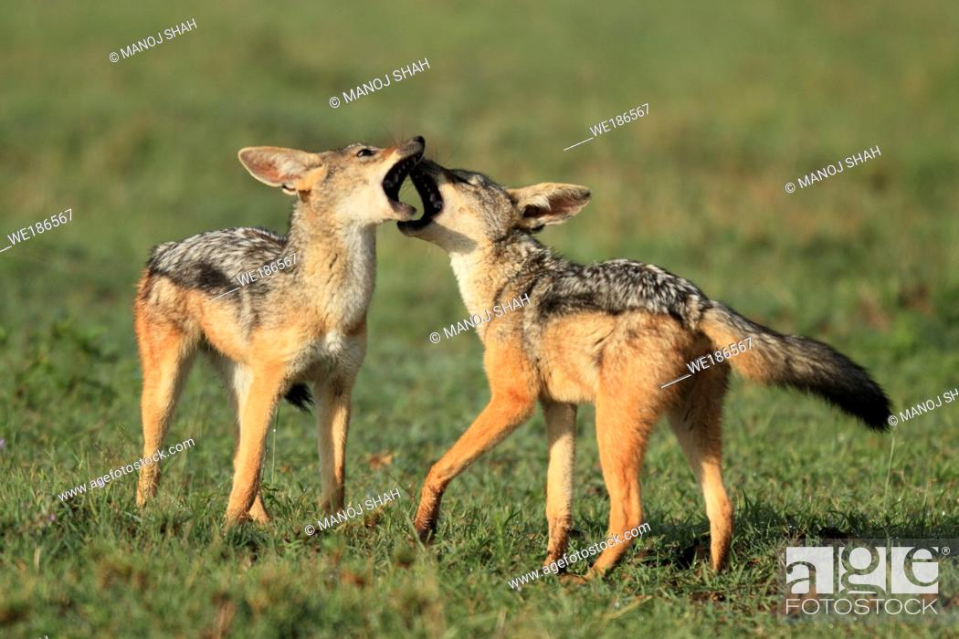Stock Photo: The adult Black Backed jackals have gone to look for food leaving behind 4 pups The pups start playing simple but energetic games mainly involving biting and.