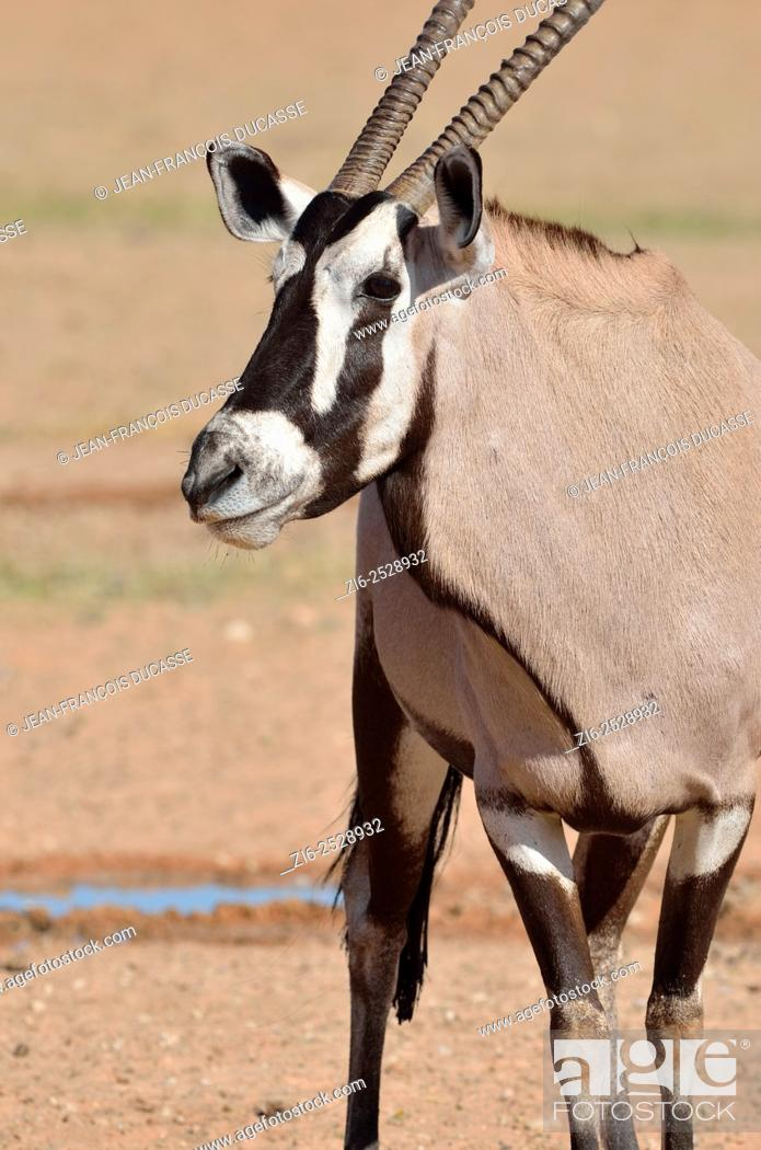 Stock Photo: Gemsbok (Oryx gazella), standing at a waterhole, Kgalagadi Transfrontier Park, Northern Cape, South Africa, Africa.