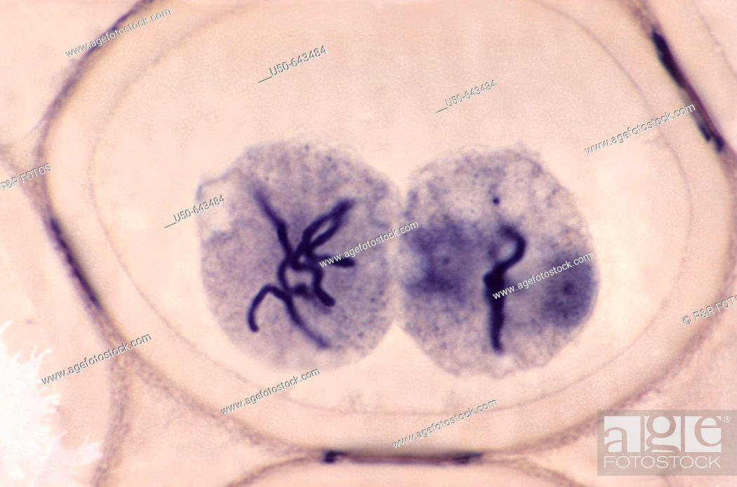 Stock Photo: Mitosis in Ascaris megalocephala (2 n = 4), it begins another Prophase. (1000 X). (8 de 8). Photomicrography.