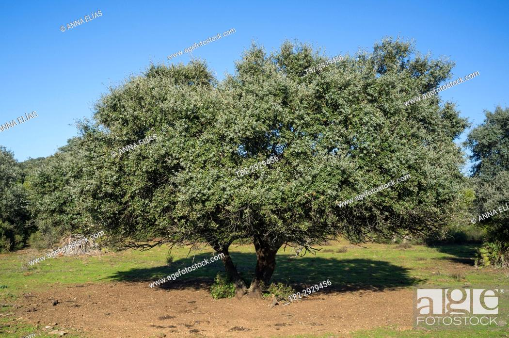 Stock Photo: Holm Oak grove, Seville province, Andalusia, Spain.
