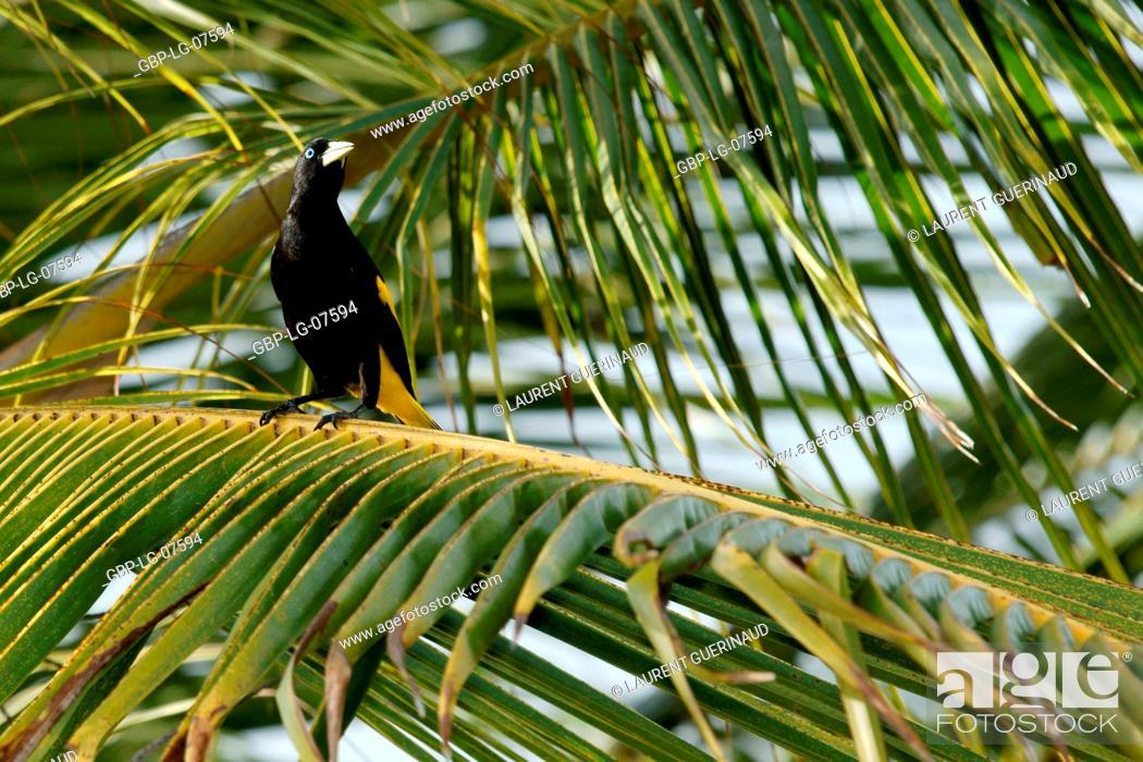 Stock Photo: Bird, Stink, Lençois, Atins, Maranhão, Brazil.