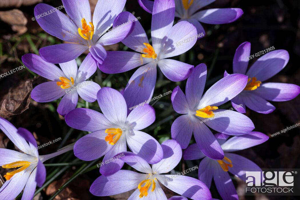 Stock Photo: Crocuses in spring.