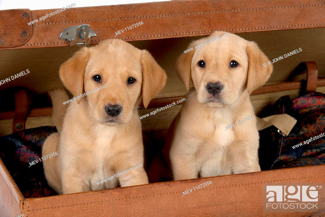 Dog Labrador Puppies 6 Weeks Old In An Old Case Stock Photo Picture And Rights Managed Image Pic Mev 11072956 Agefotostock