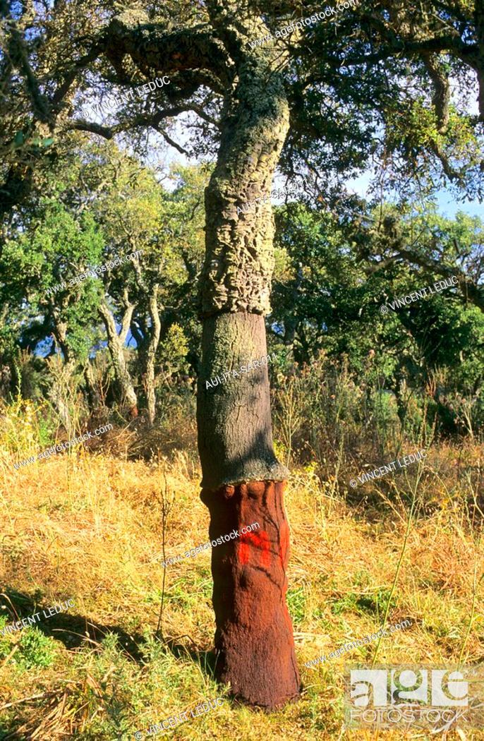 Stock Photo: Italy - Sardinia - North Region - Oak tree - Liege.