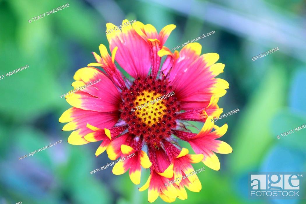 Stock Photo: Close up of a single bloom of Blanket Flower, Gaillardia Aristata, using a bokeh effect.