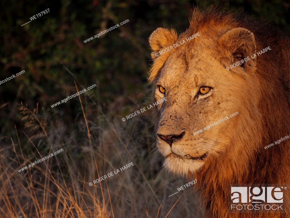 Imagen: Beautiful early morning light shining on a lion (Panthera leo). South Africa.