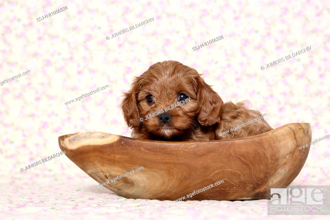 Stock Photo: Cavapoo (Poodle x Cavalier King Charles Spaniel). Puppy in a wooden bowl. Studio picture against a light background with flower print. Germany.