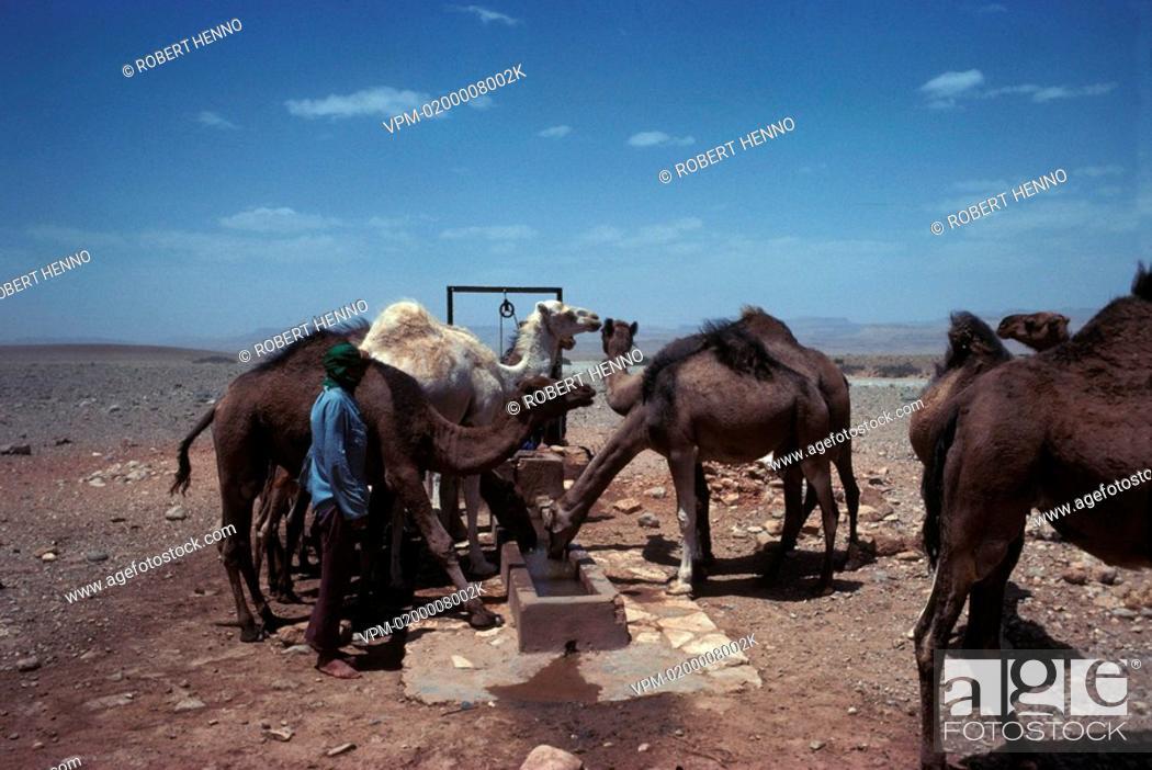 Stock Photo: CAMELUS DROMEDARIUSDROMEDARY/ ONE-HUMPED CAMELMOROCCO.