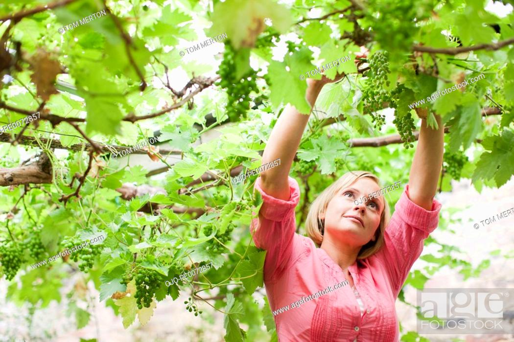 Stock Photo: Woman reaching for grapes growing on branches overhead.