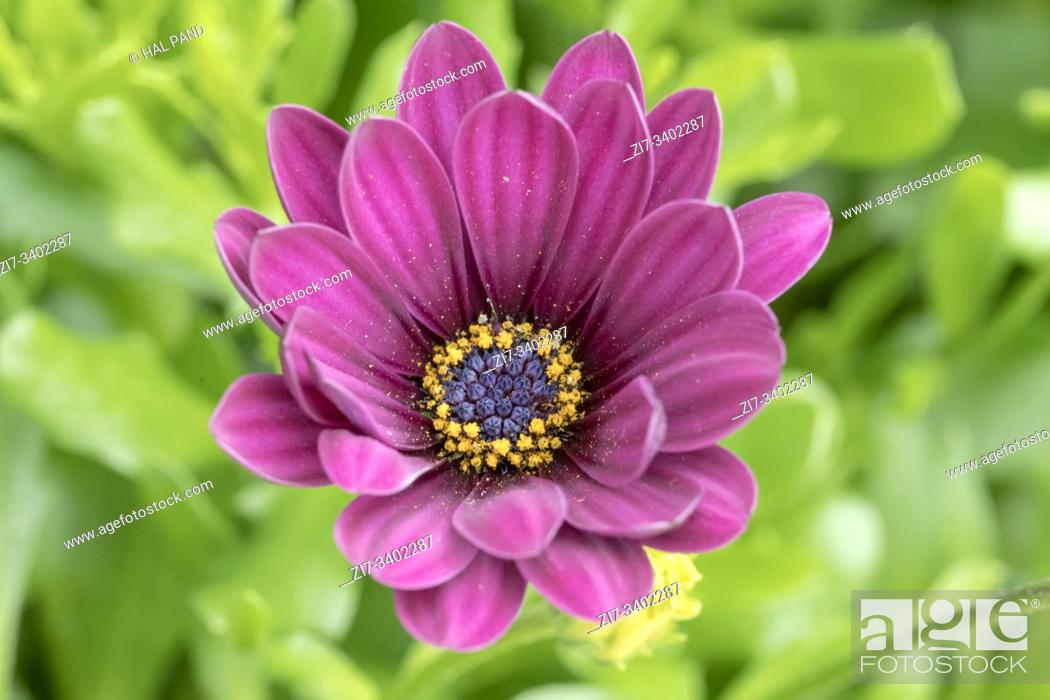 Stock Photo: detail of violet dahlia flower bud, shot at Andenes, Norway.