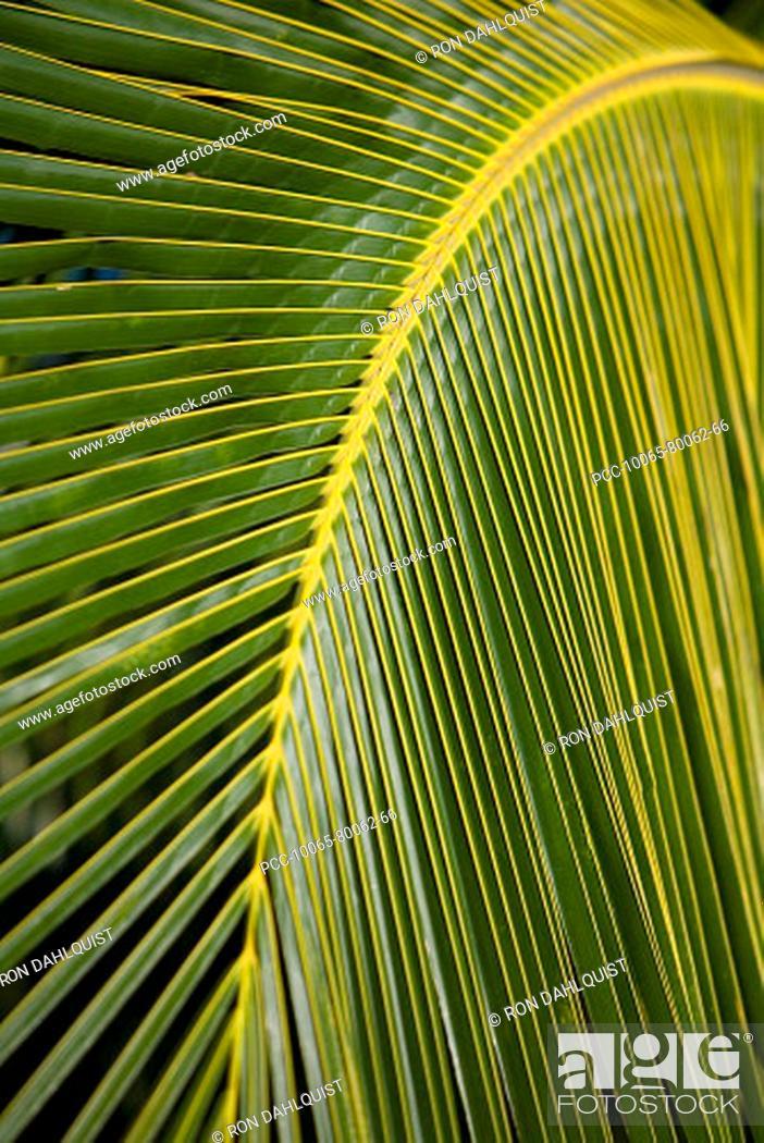 Stock Photo: Hawaii, Closeup of a green palm leaf.