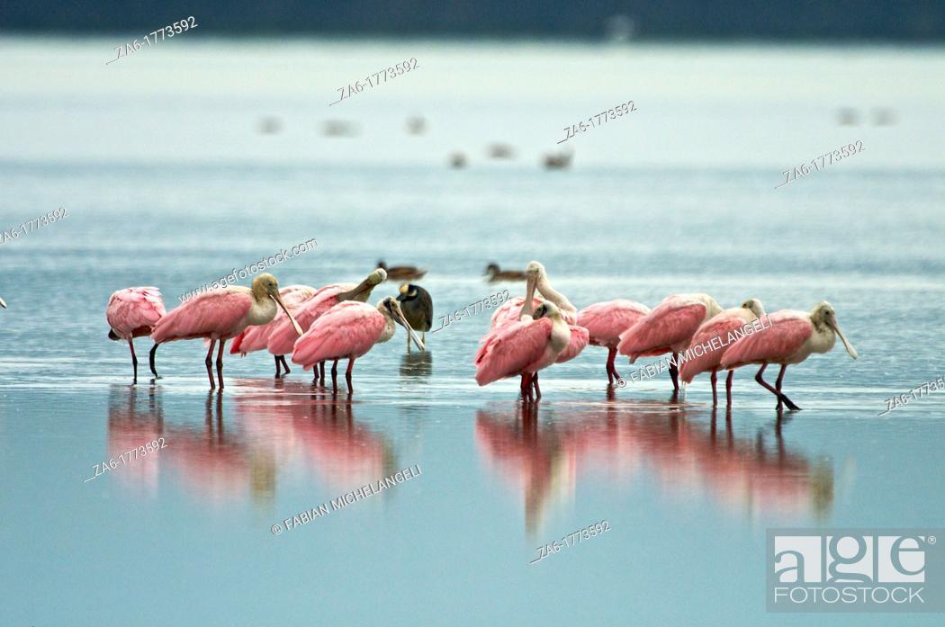 Imagen: Roseate Spoonbills Ajaia ajaja in the Unare Lagoon on the coast of Venezuela.
