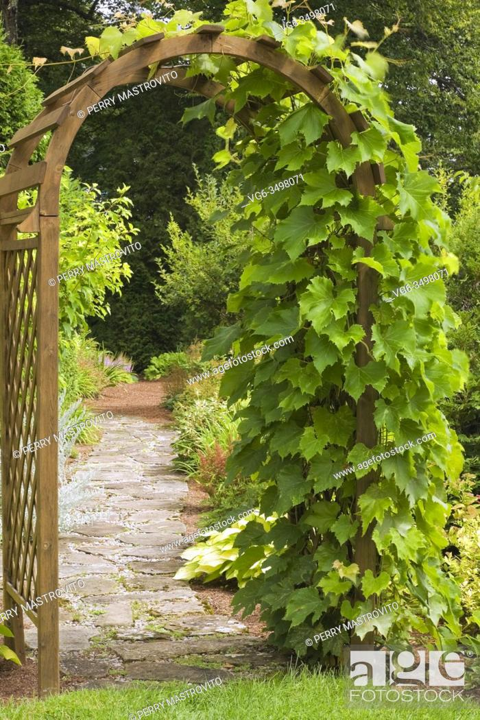 Stock Photo: Climbing Vitis 'Ste-Croix' - Grapevine on brown wooden lattice arbour in backyard garden in early summer.