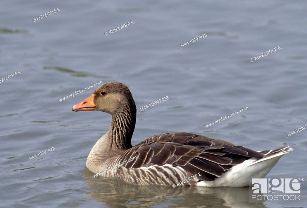 Stock Photo: Goose, bird, animal, Greylag Goose, Anser anser, Anatidae, Oostvaarder Plassen, the Netherlands.