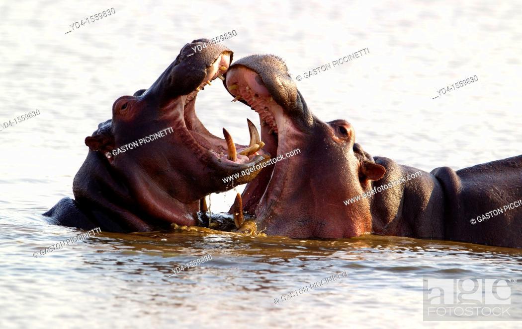 Stock Photo: Hippopotamus Hippopotamus amphibius, Mother playing with a baby hippo, Kruger National Park, South Africa.