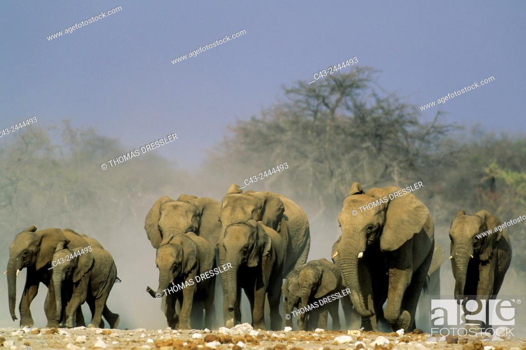 Stock Photo: African Elephant (Loxodonta africana) - Rushing towards a waterhole. Etosha National Park, Namibia.