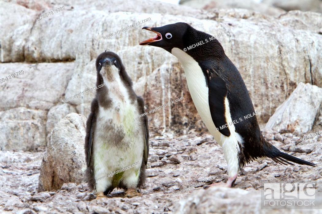 Stock Photo: Adélie penguin Pygoscelis adeliae parents and chicks at red rock ridge below the Antarctic Circle on the Antarctic Peninsula.