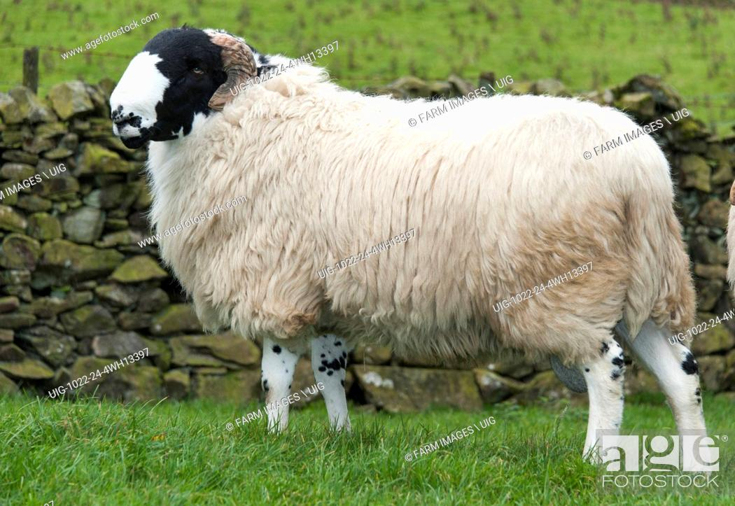 Stock Photo: Rough Fell shearling rams.