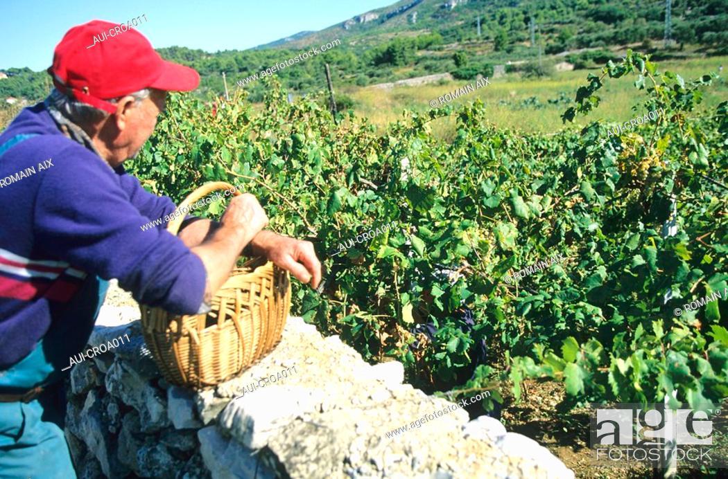 Stock Photo: Croatia - Ile de Hvar - Jelsa - Vendanges.
