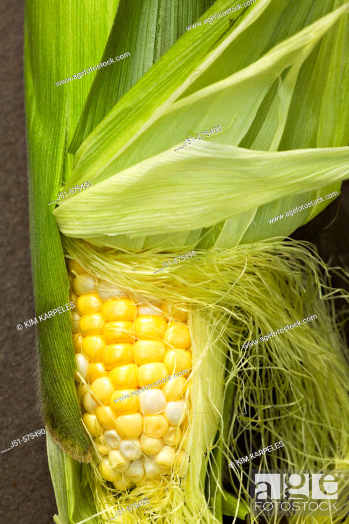 Stock Photo: Vegetables. Riverwoods, Illinois. Ear of fresh bicolor sweet corn with husks pulled back to expose kernels.