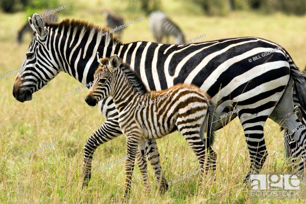 Stock Photo: Common Zebra Mother and Baby - Masai Mara National Reserve, Kenya.