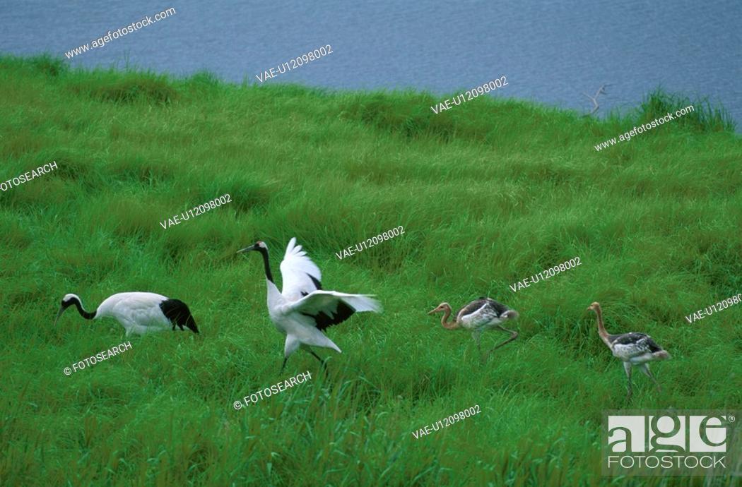 Stock Photo: Japanese Crane.