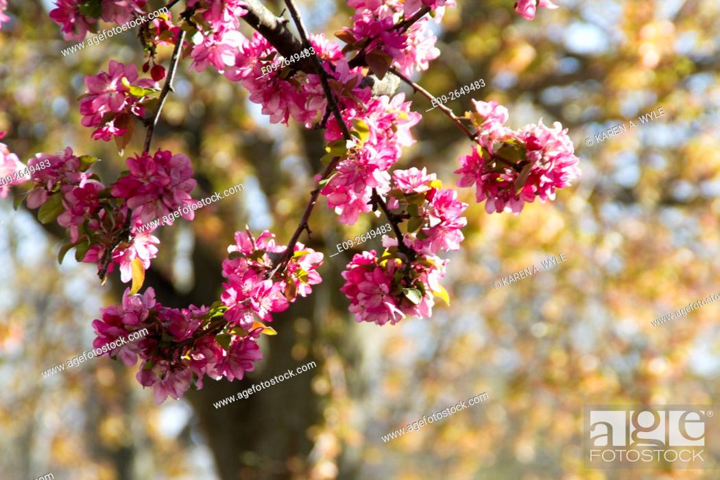 Stock Photo: blossoming crabapple tree with out-of-focus tree and new spring foliage in background, Bloomington, Indiana.