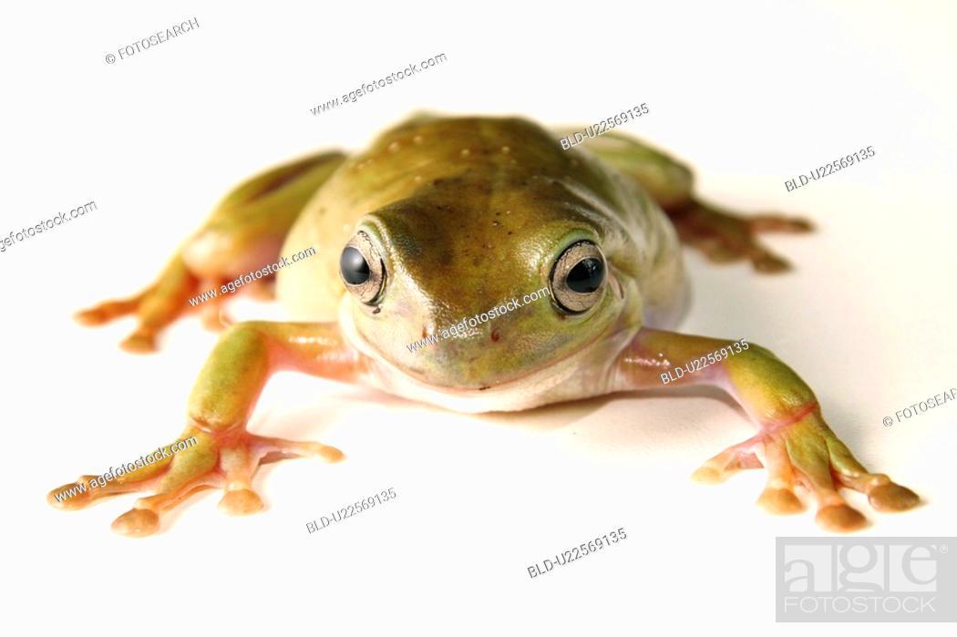 Stock Photo: animals, close-up, CLOSE, caerulea, alfred.